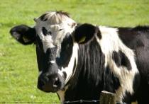 В Новой Москве пастуха, коровы которого погибли в ДТП, накажут
