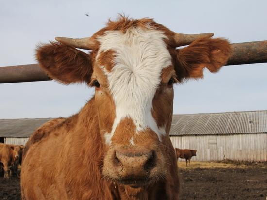 ВБашкирии девятиклассники украли корову